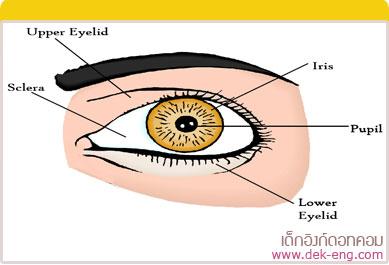 ศัพท์ภาษาอังกฤษ เกี่ยวกับดวงตา